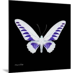 Miss Butterfly Brookiana Sq - X-Ray Black Edition by Philippe Hugonnard