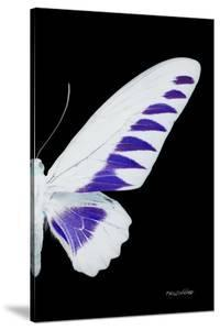 Miss Butterfly Brookiana - X-Ray Right Black Edition by Philippe Hugonnard