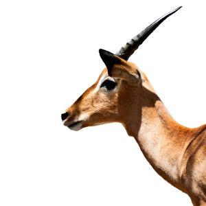 Safari Profile Collection - Antelope Impala White Edition IV by Philippe Hugonnard