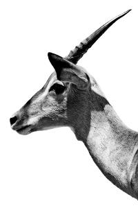 Safari Profile Collection - Antelope Impala White Edition V by Philippe Hugonnard