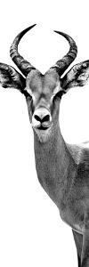 Safari Profile Collection - Antelope White Edition III by Philippe Hugonnard