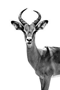 Safari Profile Collection - Antelope White Edition by Philippe Hugonnard