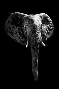 Safari Profile Collection - Elephant Black Edition by Philippe Hugonnard