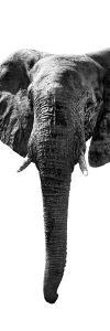 Safari Profile Collection - Elephant White Edition II by Philippe Hugonnard