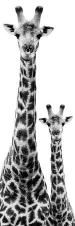 Safari Profile Collection - Giraffe and Baby White Edition IV