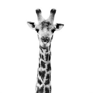 Safari Profile Collection - Giraffe Portrait White Edition IV by Philippe Hugonnard