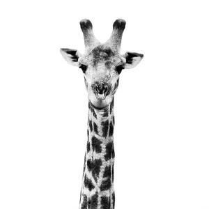 Safari Profile Collection - Giraffe Portrait White Edition IV by Philippe Hugonnard
