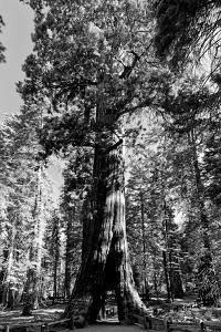 Sequoia - Mariposa Grove Museum - Yosemite National Park - Californie - United States by Philippe Hugonnard