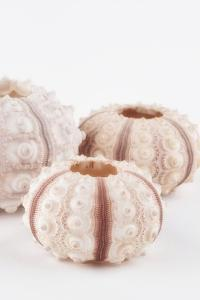 So Pure Collection - Beautiful White Sea Urchin shells III by Philippe Hugonnard