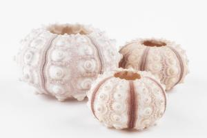 So Pure Collection - Beautiful White Sea Urchin shells by Philippe Hugonnard