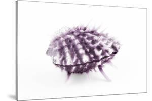 So Pure Collection - Purple Spondylus Seashell by Philippe Hugonnard
