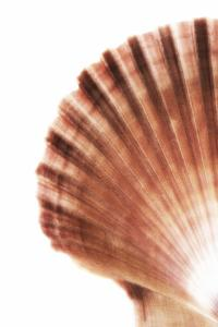 So Pure Collection - Scallop Seashell by Philippe Hugonnard