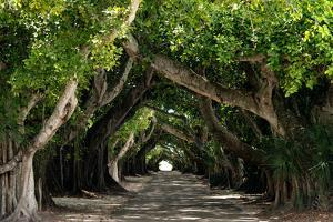 The Beautiful Banyan Tree by Philippe Hugonnard