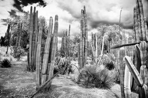 ¡Viva Mexico! B&W Collection - Cardon Cactus III by Philippe Hugonnard
