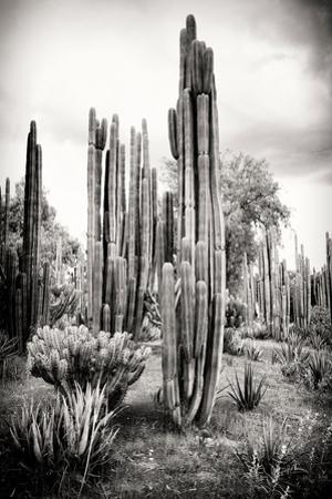 ¡Viva Mexico! B&W Collection - Cardon Cactus IV