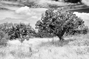 ¡Viva Mexico! B&W Collection - Prickly Pear Cactus by Philippe Hugonnard