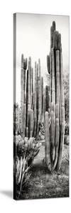 ¡Viva Mexico! Panoramic Collection - Cactus V by Philippe Hugonnard