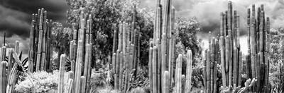 ¡Viva Mexico! Panoramic Collection - Cardon Cactus II by Philippe Hugonnard