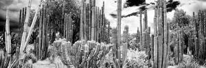 ¡Viva Mexico! Panoramic Collection - Cardon Cactus IV by Philippe Hugonnard