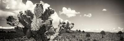 ¡Viva Mexico! Panoramic Collection - Desert Cactus V by Philippe Hugonnard