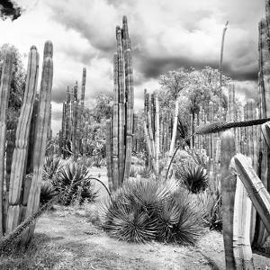 ¡Viva Mexico! Square Collection - Cardon Cactus B&W V by Philippe Hugonnard