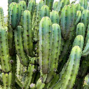 ?Viva Mexico! Square Collection - Cardon Cactus VIII by Philippe Hugonnard