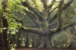 Big Beech Tree Broceliande by Philippe Manguin