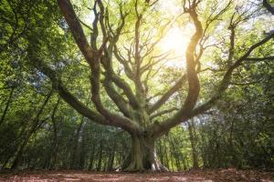 Big Old Broceliande Beech Treet by Philippe Manguin