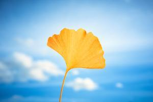 Gingko in the Sky by Philippe Saint-Laudy
