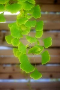Branch of Ginkgo by Philippe Sainte-Laudy