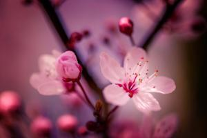 Cherry Blossums 4 by Philippe Sainte-Laudy