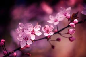 Cherry Blossums 5 by Philippe Sainte-Laudy