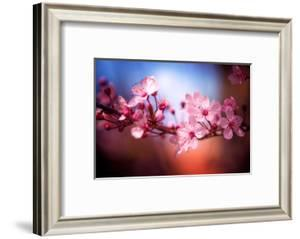 Cherry Blossums 6 by Philippe Sainte-Laudy