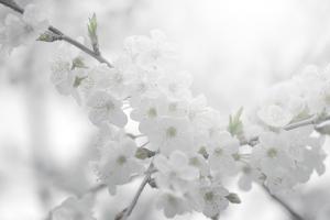 Cherry Tree by Philippe Sainte-Laudy