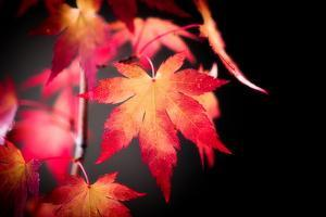 Fire Leaves by Philippe Sainte-Laudy