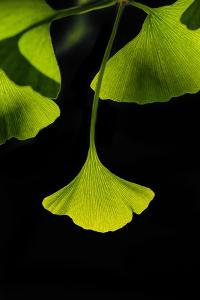 Ginkgo Leaves on Black by Philippe Sainte-Laudy