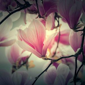 Magnolia Forever by Philippe Sainte-Laudy