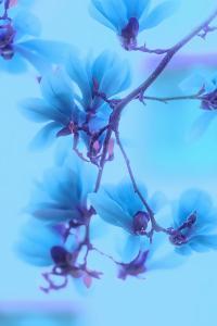 Magnolias Blues by Philippe Sainte-Laudy
