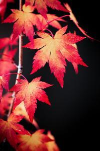 Maple on black by Philippe Sainte-Laudy