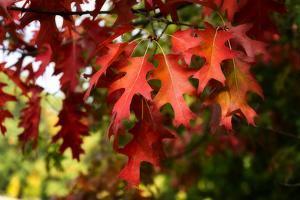 Oak Leaves by Philippe Sainte-Laudy