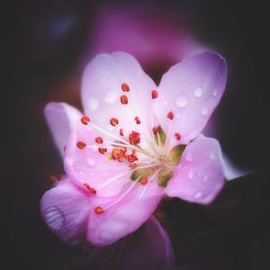 Peach flowers by Philippe Sainte-Laudy