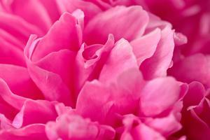 Peony Fragrance by Philippe Sainte-Laudy