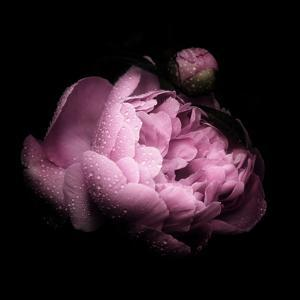 Peony In The Dark by Philippe Sainte-Laudy