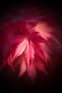 Red Maple Leaves by Philippe Sainte-Laudy