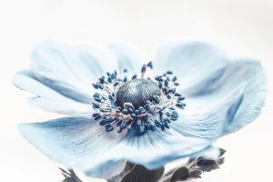 Wind Flower by Philippe Sainte-Laudy