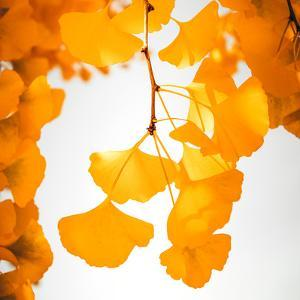 Yellow Ginkgo in Autumn by Philippe Sainte-Laudy