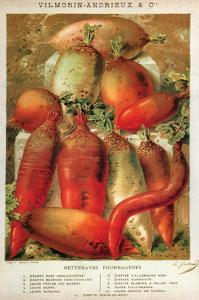 Betteraves Fourragers - Tuber Vegetables by Philippe-Victoire Leveque de Vilmorin
