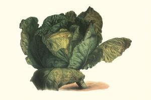 Cabbage Head by Philippe-Victoire Leveque de Vilmorin
