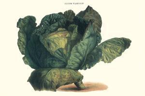 Cabbage by Philippe-Victoire Leveque de Vilmorin