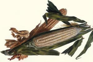 Corn by Philippe-Victoire Leveque de Vilmorin